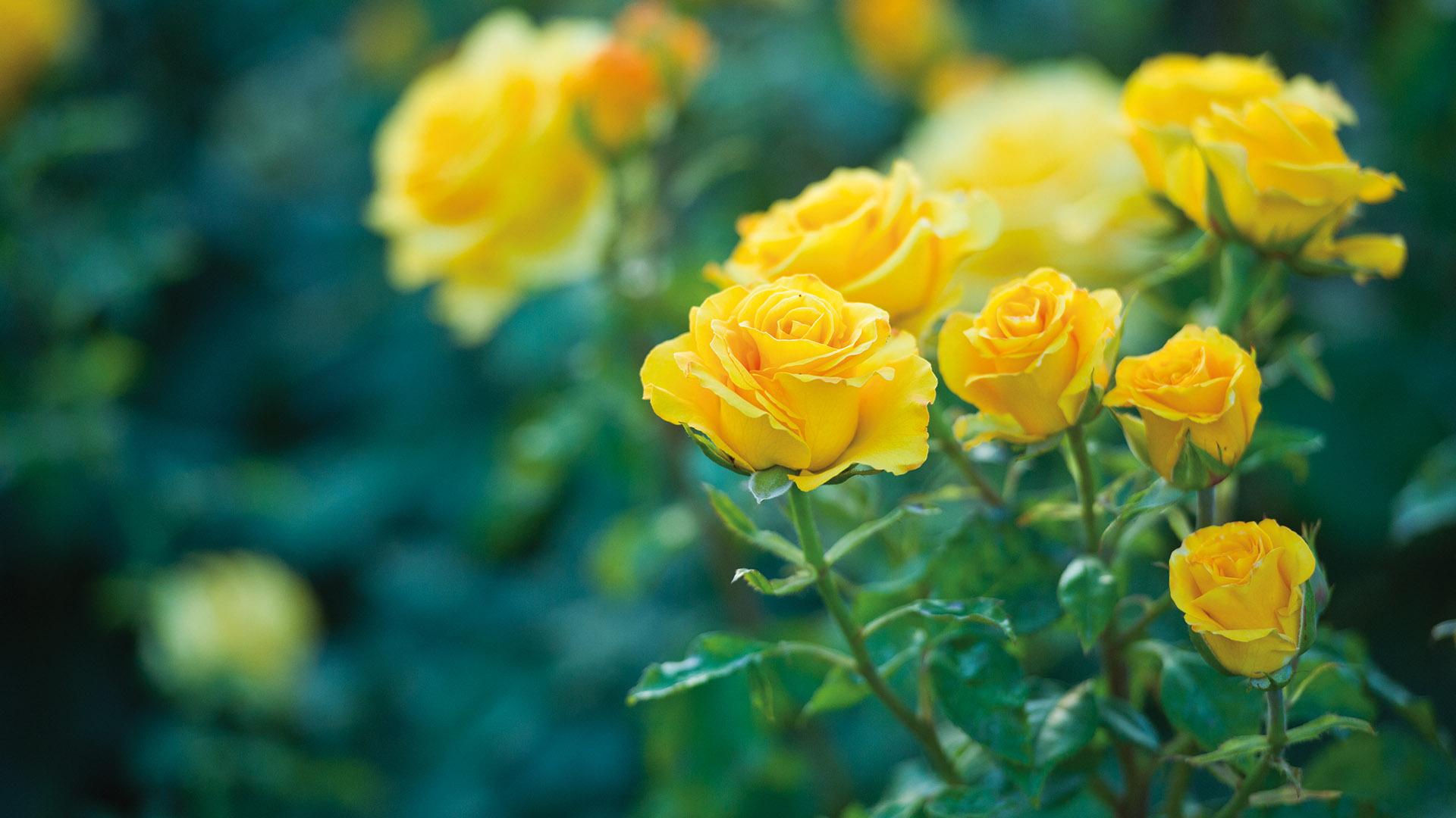 rose_main