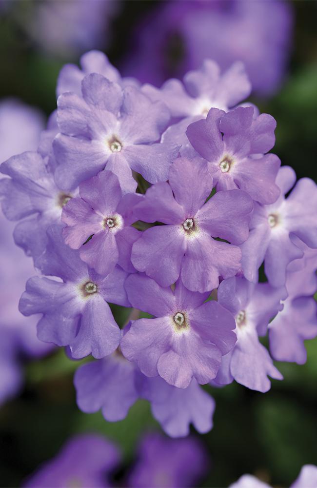 verbena-lavender-image-6