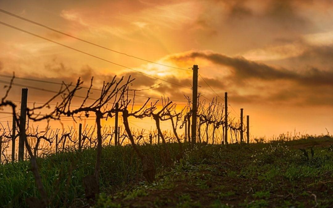 Durbanville's Sauvignon Blanc