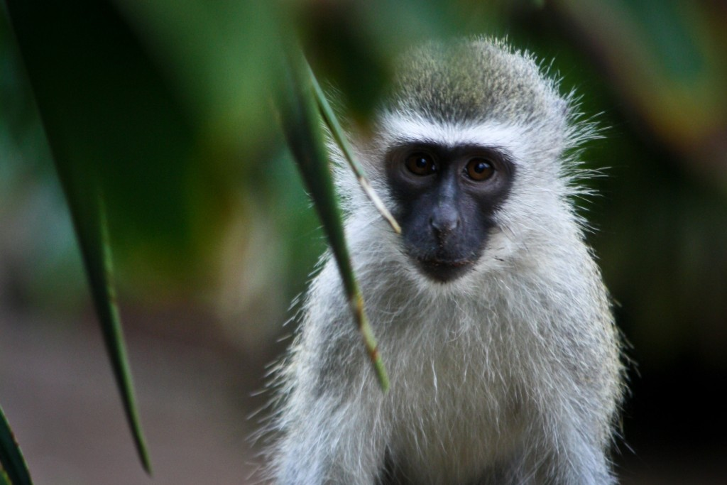 Young_Vervet,_Mitchell_Park_Zoo,_Durban,_July_2013-min