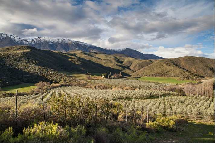 South African Olive Oil_De Rustica