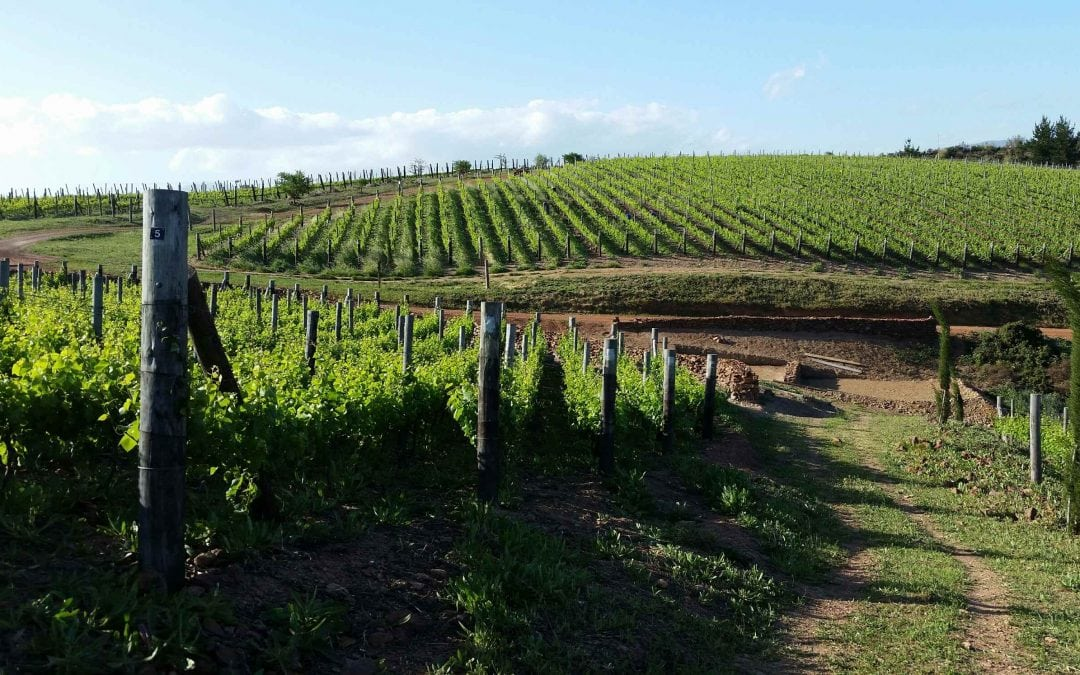 Getting to know pinotage wines